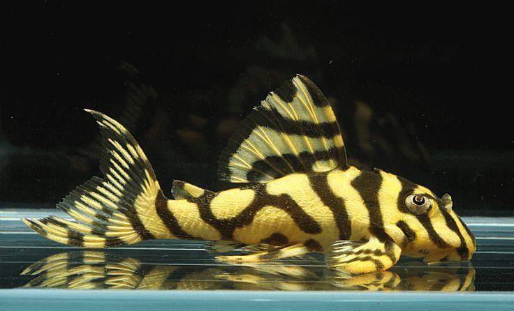 53 fantastiche immagini su pleco and catfish for my tank for Tiger striped fish