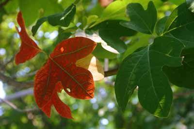 sassafras tree: Sassafras albidum