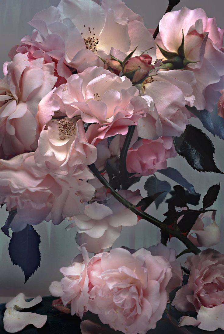 Roses photographed by Nick Knight