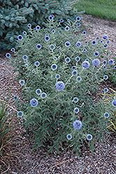 Click to view full-size photo of Blue Glow Globe Thistle (Echinops bannaticus 'Blue Glow') at Landsburg Landscape Nursery