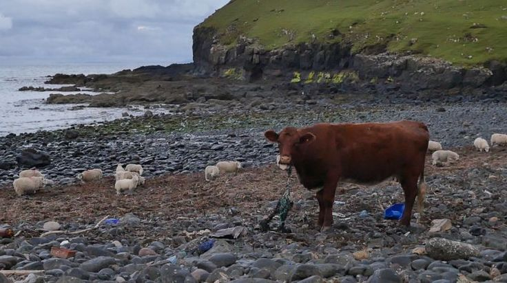 Footage Of Cow Chewing Plastic Net On Scottish Beach Highlights Tragic Reality Of Ocean Pollution