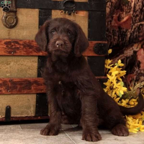 Chocolate Mini Labradoodle Puppy For Sale In Pennsylvania Mini Labradoodle Puppy Labradoodle Puppies For Sale Labradoodle Puppy