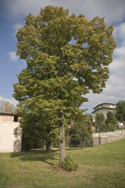 Are Poplar Trees Good Or Bad – Growing Information And Poplar Tree Care