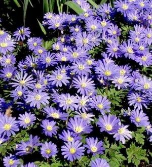 Anemone Blanda Blue Shade flowers