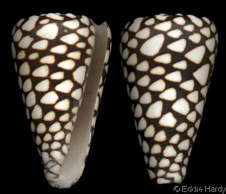 Conus (Conus) marmoreus Linnaeus, C., 1758 Marble Cone Shell size 30 - 150 mm Indo-W Pacific