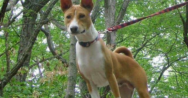 El Basenji , Congo Terrier , Perro del Congo , Terrier del Congo  o Perro de Caza Africano  es una raza de perro  originaria de África Centr...