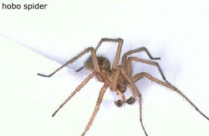 Hobo Spider - poisonous - found generally in the NW part of US, western Canada and throughout Europe.  Prefers dry, warm climates and sometimes live in houses.