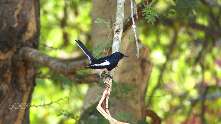 Oriental Magpie Robin - An oriental magpie robin sitting on a branch waiting to move to it's nest.  Thanks for viewing.