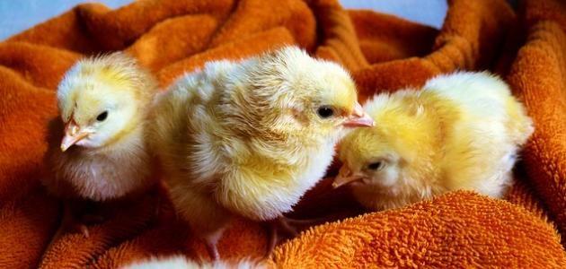 تفسير حلم رؤية الكتاكيت في المنام Chickens Backyard Baby Chicks Raising Baby Chicks