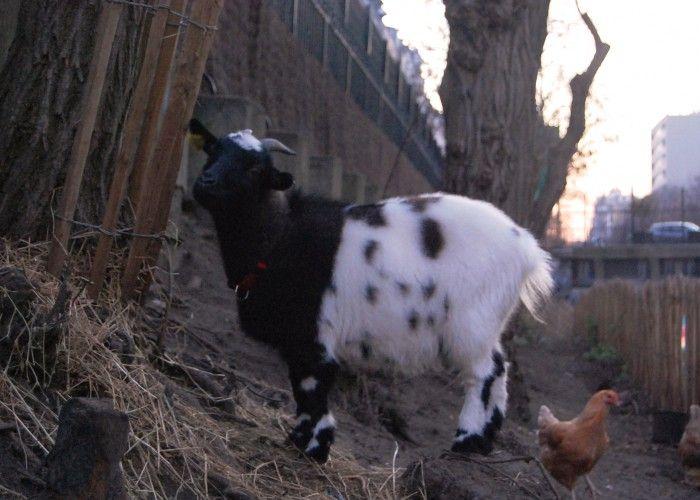 Faustine, l'une des deux chèvres naines | La REcyclerie, ferme urbaine à Paris
