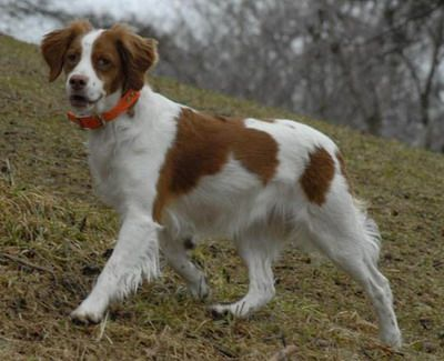 brittany spaniel | Brittanys Information Brittany Spaniel 27 – Puppy dog site