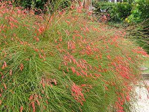 Russelia equisetiformis: Firecracker plant