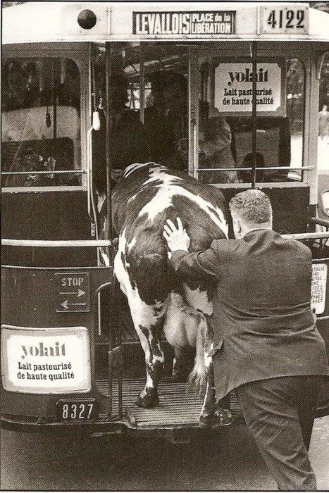 Photo by Roger-Viollet - Comment faire entrer une vache dans un bus (How do you get a cow in a bus)? Paris, France, 1950.