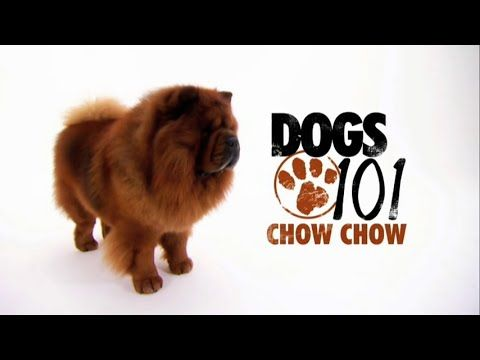 DOGS 101 - Chow Chow [ENG] - http://www.kittytalent.com/posts/dogs-101-chow-chow-eng/