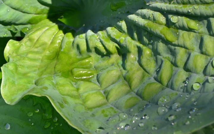 Crazy about hostas. My favorite one.