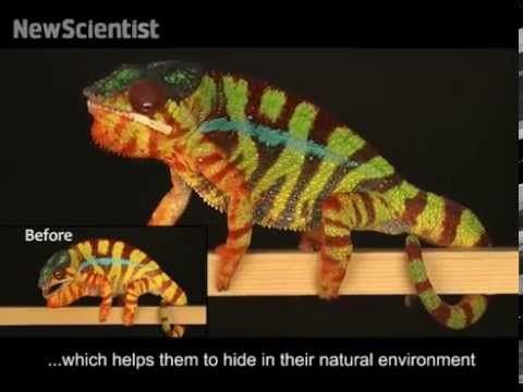 Chameleons don't change colour, they use smart mirrors | New Scientist