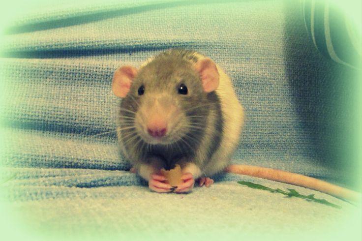 1000+ images about Rats! on Pinterest | Dumbo rat, Cute ... | 736 x 490 jpeg 55kB