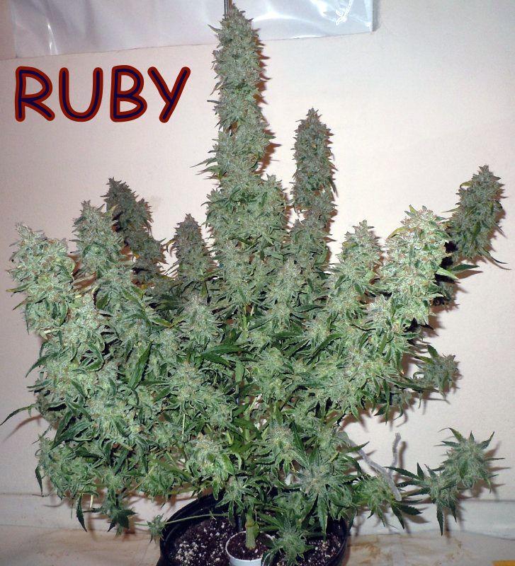 Ruby 3 FEMINISED autoflowering SEEDS