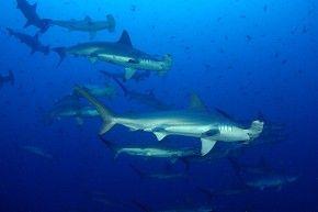 Okt'18: Cocos Island Tauchsafari mit der MV Sea Hunter #cocos #island #tauchsafari #mvseahunter #seahunter #hammerhai #hammerhead #sharks #wirodive #tauchreisen #erlebnisreisen #touchedbynature #oceanlovers #born2dive #scubakids