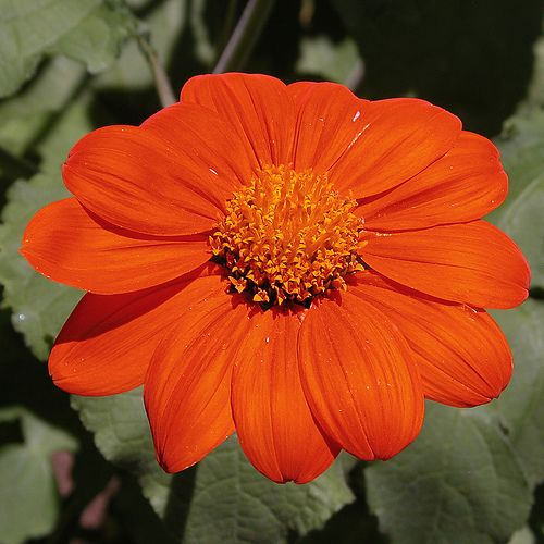 How to Care for Mexican Sunflower