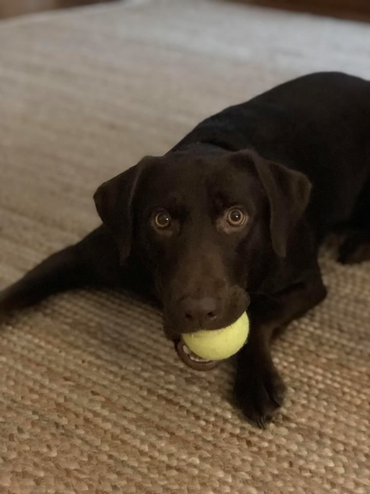 Rivers Is An Adoptable Labrador Retriever Searching For A Forever