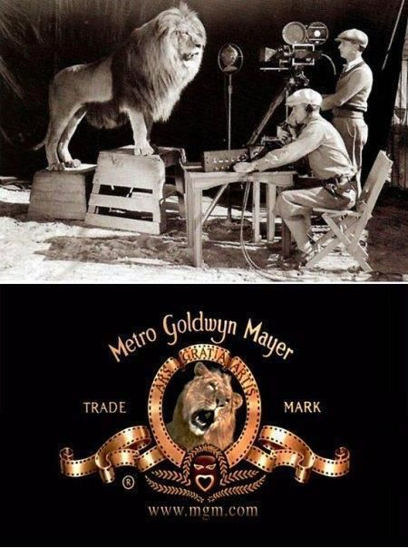 Here is an interesting fact- the lion used in the original MGM movie logo killed its trainer and two assistants the day after the logo was filmed. The lion was named Slats. It growls rather than roar in the film shooting. Slats was used on all black and white films from 1924 to 1928. For years, the lion would tour with MGM promoters to signify the studio's launch. During this time, he survived 2 train wrecks, a flood in Mississippi, an earthquake in California, a fire, and a plane crash…