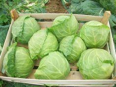 Как на маленькой площади вырастить большой урожай капусты