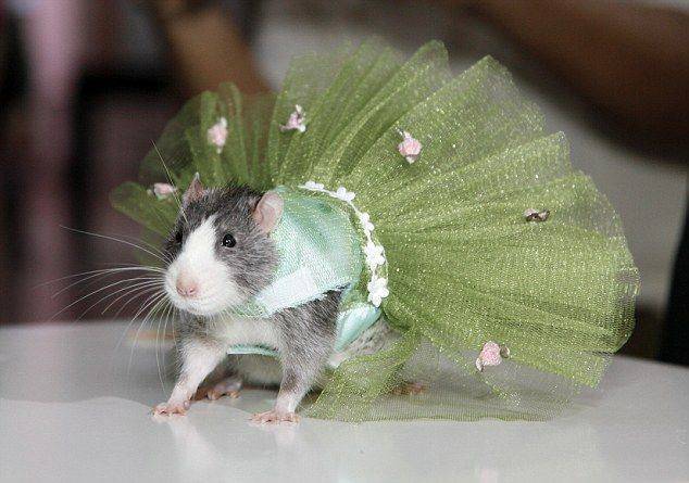 "Rat couture.  ""Ada, from New York, said: 'The rats look very cute and seem to like wearing them. Rats are very popular these days and the owners love to dress them up.'""  Emerald tutu by Ada Nieves; modeled by Perriwinkle.  Via The Dail Mail (http://www.dailymail.co.uk/news/article-1392396/New-York-fashionistas-splurge-designer-outfits--pet-rodents.html).: Fancy Rat, Animals, Tutu, Pet Rats, Pets, Rat Fashion, Funny Animal, Rat Stuff, New York"