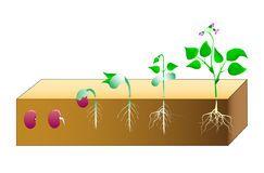 Haricots de germination Photo stock