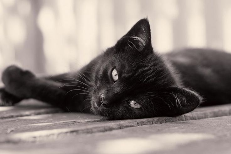 Black Cat Appreciation Day was established as a pet holiday to help break the stigma and superstition surrounding black cats--from Halloween myths to black magic.