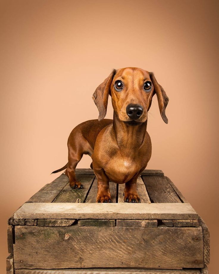 Some Of The Mutley S Who Ve Had An Studio Pet Photography Session Sessions Take Place At Our Larbert Studio Near Falkirk Stirling Animal Photography Dog Photography