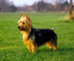 Australian Terrier- I'm in love - so like our Susie
