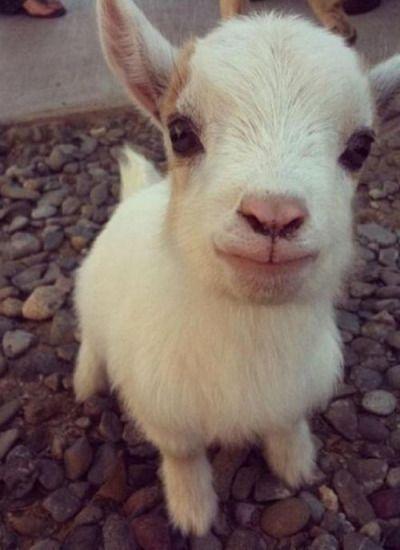 Cabra del bebé! Fuente: http://imgur.com/r/aww/zgey66Y ¿Le gusta animales lindos? Le encanta este blog!