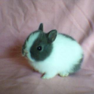 Netherland dwarf bunnie