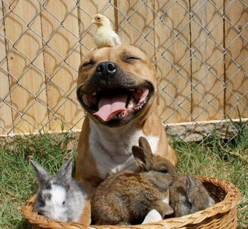 staffordshire-bull-terrier-chick-and-bunnies