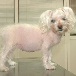 Canine Cushing's Disease: Cushing's disease or hyperadrenocorticism is a relatively rare condition that occurs when your dog's body produces too much steroid hormone. #riverroadvet #cushingsdisease