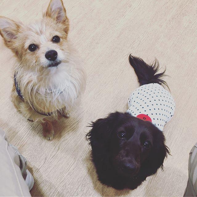 . 同い年のかりんちゃんと遊びました☺️ 調子乗ると助走つけて遊びに誘うから たまに怒られるこぺ🥖笑 5月生まれさん多いな〜☺️💖 . .  #保護犬カフェ#出身#保護犬#ミックス犬#ミックス犬同好会 #ヨークシャーテリア#ポメラニアン#ミックス#なのかな#dog#犬#愛犬#テリアミックス#僕の名は#こっぺぱん#こっぺぱんまん#dog#dogstagram#ポメキー#🐕#犬がいる生活#いぬすたぐらむ#室内ドッグラン
