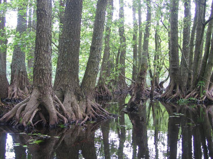 [11/15] Nieco dalej – w centralnej części Pojezierza Drawskiego – jest Drawski Park Krajobrazowy. Obejmuje on obszar ukształtowany w czasie tzw. zlodowacenia bałtyckiego. Jego pozostałościami są wzniesienia moreny czołowej, jary, głazy narzutowe, jeziora rynnowe, oczka wodne i torfowiska. Drawski i Iński park krajobrazowy fot. Gmina Borne Sulinowo Największe i najgłębsze z ponad 48 dużych jezior to w kolejności: jezioro Drawsko, Siecino i Komorze.