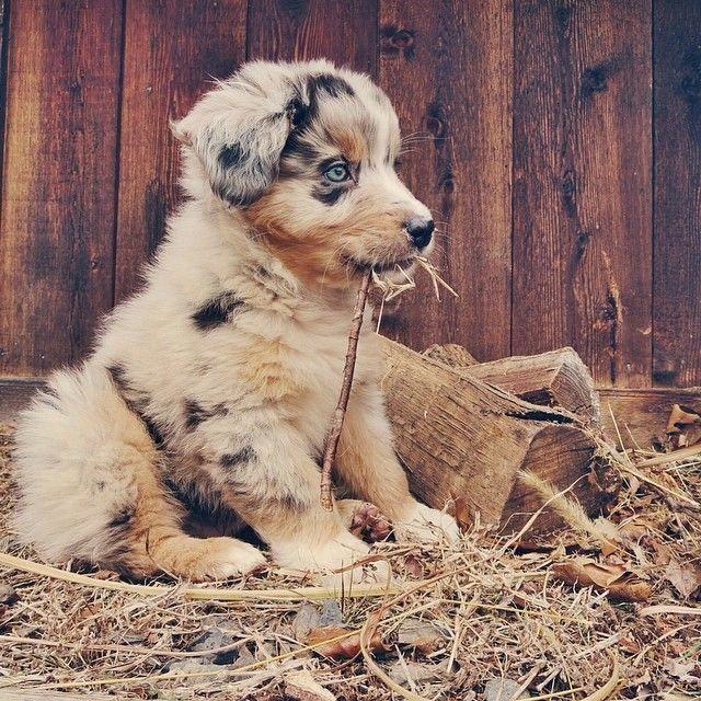 Australian Shepherd Smart Working Dog In 2020 Cute Baby