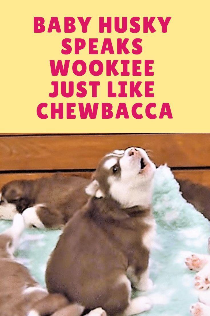 Baby Husky Speaks Wookiee Just Like Chewbacca Baby Huskies Cute Husky Puppies Great Dane