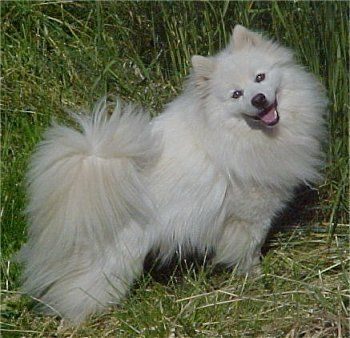 American Eskimo Information and Pictures, Spitz, American Eskimo Dog    Like and repin please :)