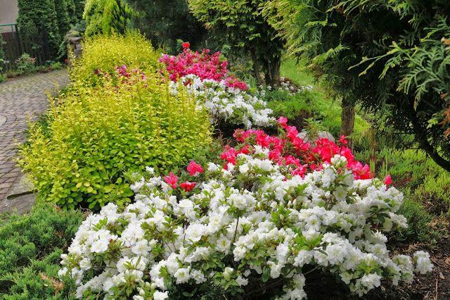 OGRÓD U STÓP KLASZTORU: Każdy ma swoje święto azali i rododendronów