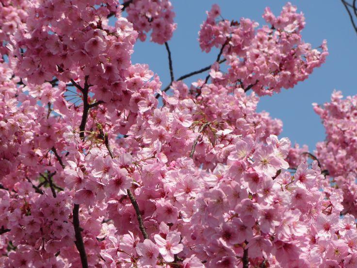 Sakura, imperdible