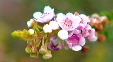 Thryptomene saxicola rosea. Small shrub with pale pink flowers in winter and spring. Sunny, well-drained position. 1m high x 1.5m wide. Bird attracting. Full sun.