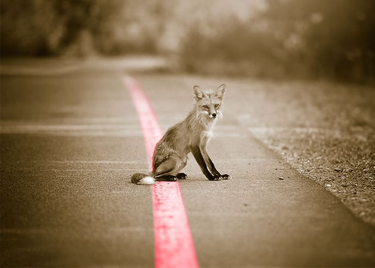 WallArt - Fox - Presentorium