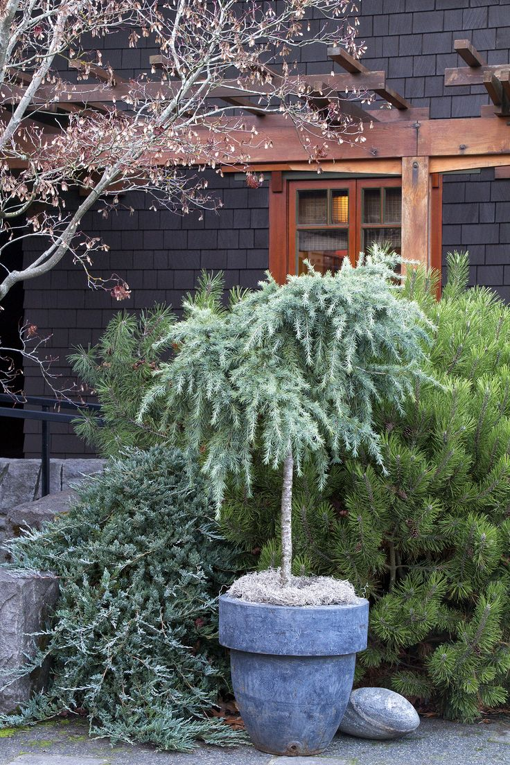 Love the look of this Feelin' Blue Deodar Cedar, especially in this blue pot against the other conifers.  But not hardy to Zone 5.....maybe a small Weeping Larch or Alaskan Cedar could be kept in a pot like this for a little while.  Hmmmm.