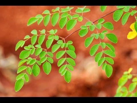Moringa tree: The solution to malnutrition?  The resilient, fast growing Moringa oleifera tree is packed with so many vitamins and nutrients and has such a high nutritional value that it has been rightly dubbed by some as the miracle tree.