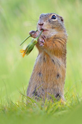 ziesel #squirrel