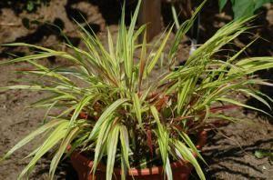 Photo of golden Japanese forest grass. This ornamental grass grows in shade. - David Beaulieu