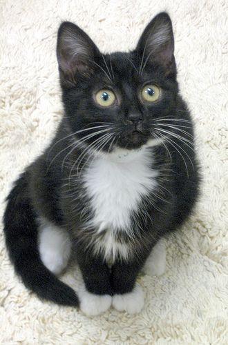 Tuxedo kitten - yes please :-)